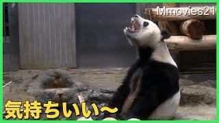 ジャイアントパンダ水浴びするリーリー筍を食べるシンシンGiantPanda