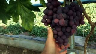 собираем виноград с годовалого винограда ( сигналочки)