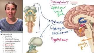 Brain 6- Diencephalon