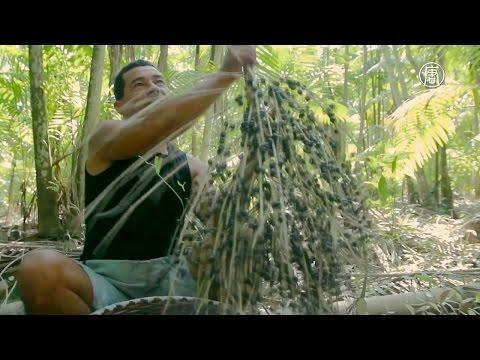 Бразилия: бум на ягоды пальмы асаи (новости)