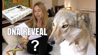 DOG DNA REVEAL   CZECHOSLOVAKIAN WOLFDOG   Surprising Result!