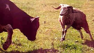 animales Carnero vs toro