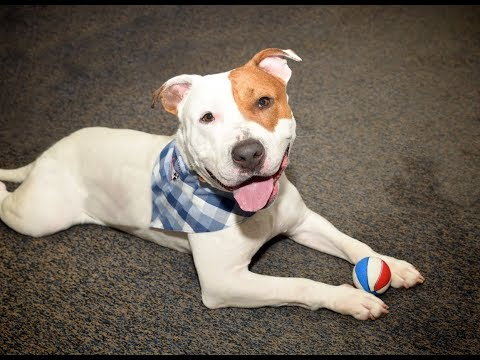Prince, an adopted Pit Bull Terrier & Bull Terrier Mix in Mendham, NJ