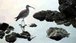 preview picture of video 'Eurasian Curlew, Thondamanaru Lagoon, Sri Lanka'