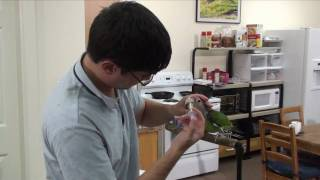 Truman Cape Parrot - Hand Feeding and Medication