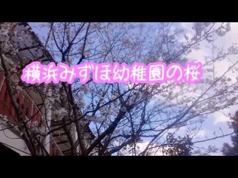 横浜みずほ幼稚園の桜 SAKURA