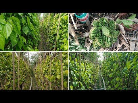 battle leaf cultivation growing / Betel Leaves Benefits