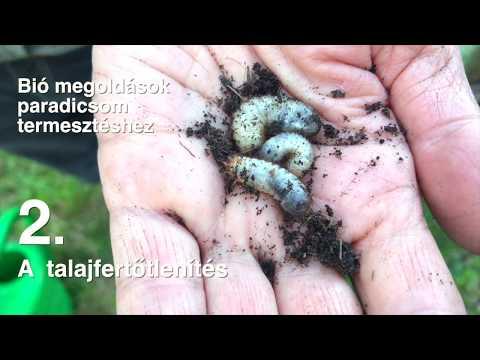 Hogyan lehet gyógyítani a hüvelyi papillómát