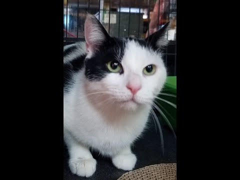 Patricia, an adoptable Domestic Short Hair in South Ozone Park, NY