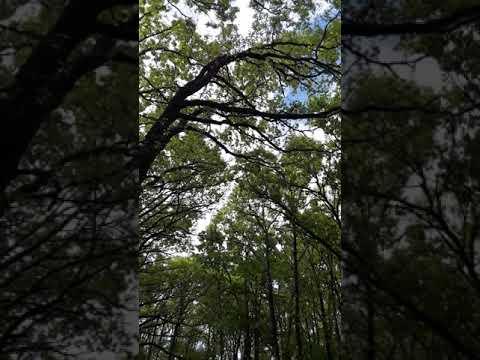 Blue skies peaking through the trees with morning chorus