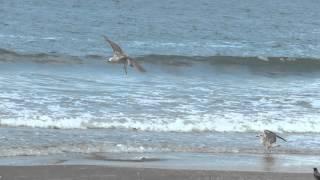 Ворона и Чайки в небе над морем!Кирьят-Ям.Израиль.