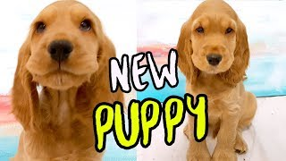 WE GOT A PUPPY ! English Cocker Spaniel Dog
