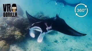 Giant Reef Manta Ray, Komodo Indonesia (360 VR Video)
