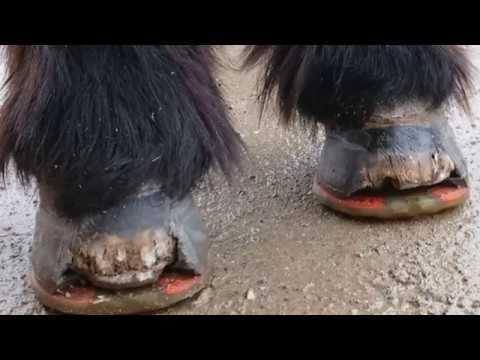 Pferd Rollenstift mit Osteochondrose