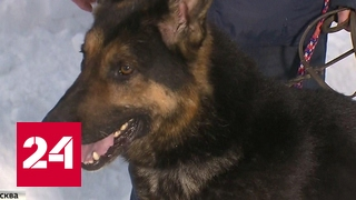 STEEL - Собаки-убийцы: жертвами стали пожилая женщина и 5-летний ребенок