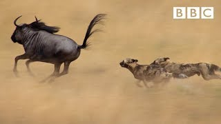Wild dogs - Life Story: Episode 3 preview - BBC One