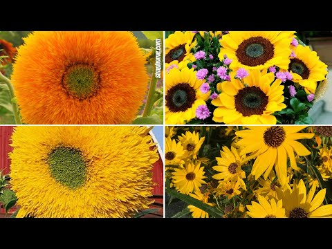 , title : '10 Sunflower Garden Ideas