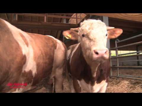 Rinder aus Horror-Haltung