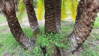 Sylvester/Reclanata Palm/Near Perfect One of a Kind Specimen/Multi Trunk Palm/Palms For Sale/