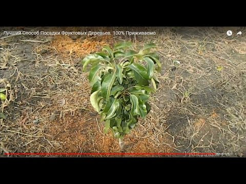 Лучший Способ Посадки Фруктовых Деревьев. 100% Приживаемость