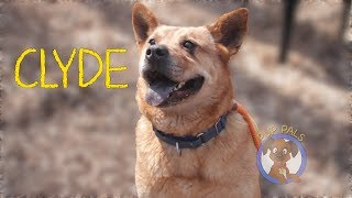 Clyde Bailey - Shepherd / Chow Chow / Mixed (medium coat) Dog For Adoption