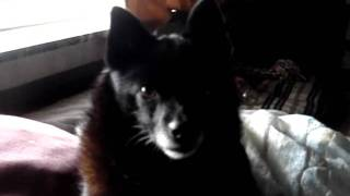 preview picture of video 'My Schipperke Boo'