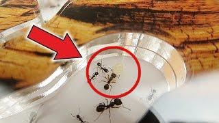 Куколка гигант в моем муравейнике! Что из нее вырастет? 😲
