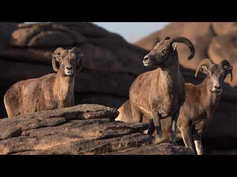 , title : 'Argali   Wild Sheep Mongolia