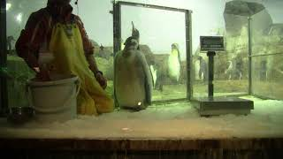 #2-21 Jan 2018 Emperor penguin at Adventure world, Japan