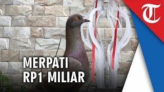Merpati Jayabaya Pecahkan Rekor Burung Termahal dengan Harga Rp1 Miliar