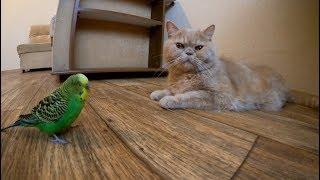 Невозмутимый кот и игривый попугай. Смешные животные.