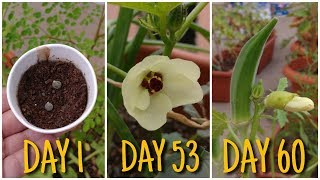 How to grow Okra/ Lady Finger/ Bhindi in pot from seed to harvest (60 Days Update)