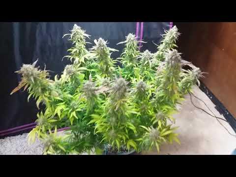 Cannabis 'White Widow' смотреть онлайн видео в отличном качестве и