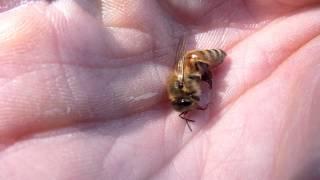 Honey Bee Revival