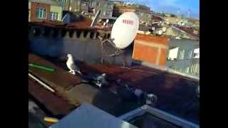 preview picture of video 'mardin kuşları'