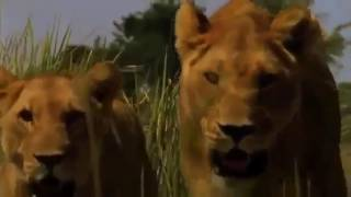 Life of Lions  Hunting, Fighting, Mating Nature Wildlife Documentary