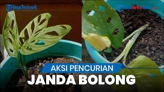 Maling Tanaman Janda Bolong di Lampung, Ganti Tanaman Lain Sengaja Dibolongi agar Terlihat Mirip