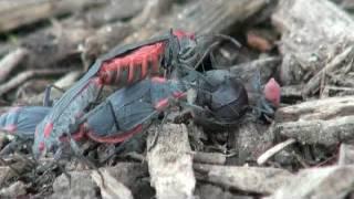 Red-shouldered bugs (Jadera)