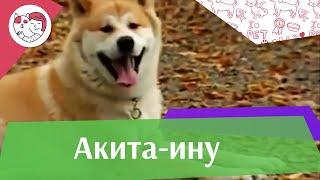 Акита Ину Интересные факты на iLikePet