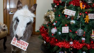 Orphaned 20-Inch-Tall Donkey Spends First Christmas Indoors