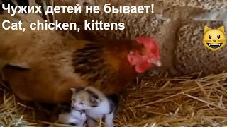 Чужих детей не бывает! Кошка с... цыплятами, а курица с котятами/Cat, chicken, kittens