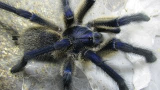 Top 5 Aggressive Old World Tarantulas in my collection