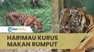 Viral Video Harimau Sumatra Kurus Sedang Makan Rumput, Dokter Hewan Medan Zoo Beri Penjelasan