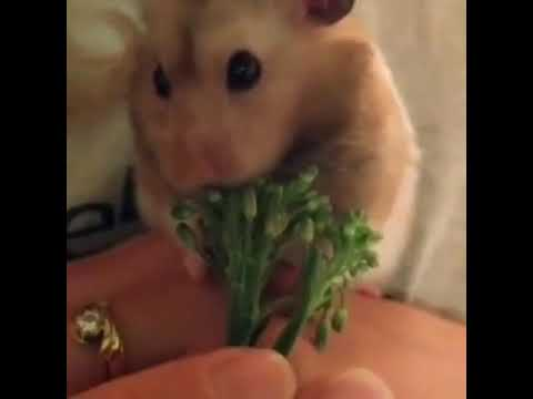 Record the cutest moment of hamster 2