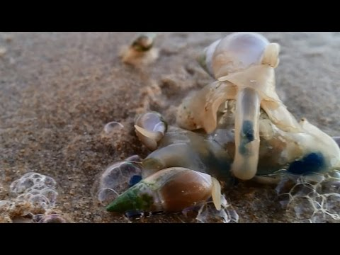 Thousands of sea snails feed on bluebottle (HD)