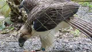 Philippine Monkey Eating Eagle - Feeding on a Rat, Fun in the Philippines