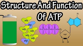 ATP - What Is Adenosine Triphosphate - What Is ATP - Function Of ATP - Structure Of ATP