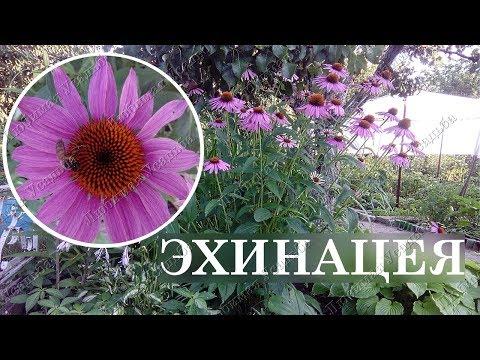 Эхинацея Неприхотливые цветы для сада  Посадка размножение уход