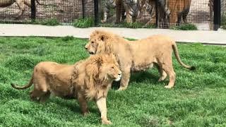 Львы вышли в саванну