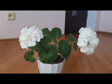 Зональная пеларгония Brixworth Pearl